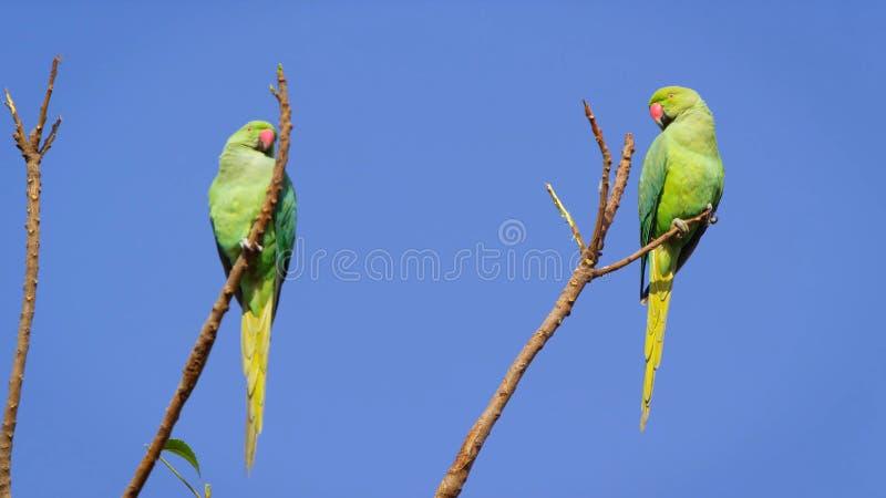 Зеленые попугаи стоковые фото