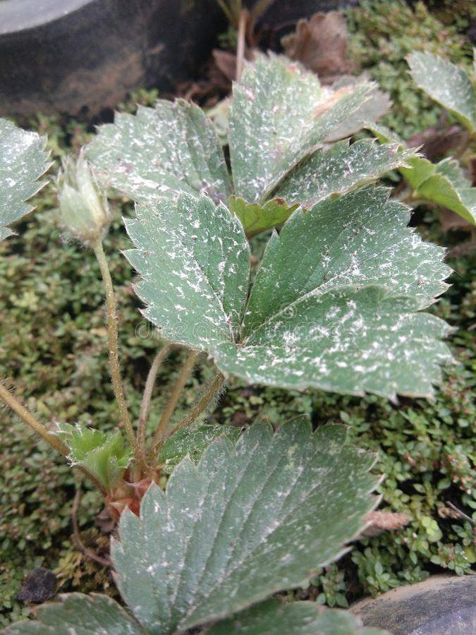 Зеленые пылевоздушные листья strawbery стоковое фото