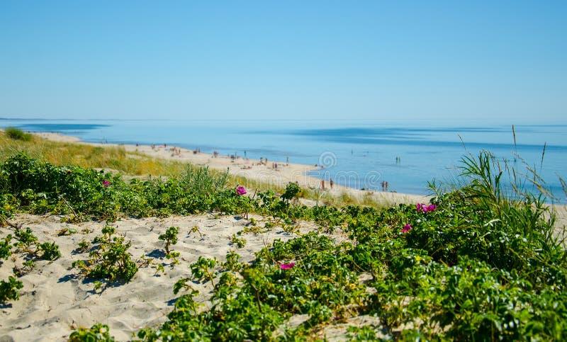 Зеленые растения и цветки, вертел Curonian, Балтийское море, Литва стоковые фото