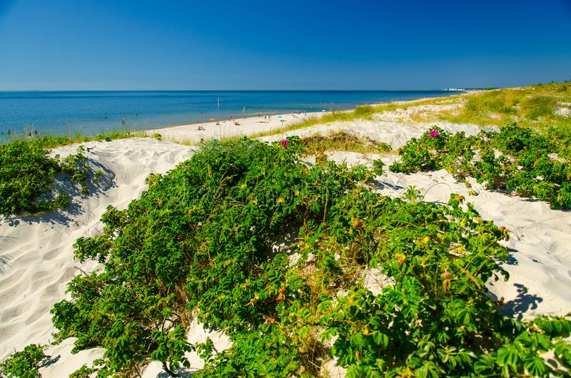 Зеленые растения и цветки, вертел Curonian, Балтийское море, Литва стоковая фотография rf