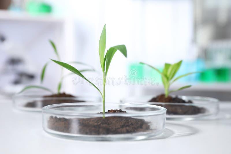 Зеленые растения с почвой в чашках Петри на таблице в лаборатории biofeedback стоковое изображение