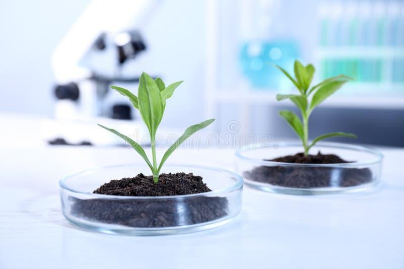 Зеленые растения с почвой в чашках Петри на таблице в лаборатории biofeedback стоковая фотография