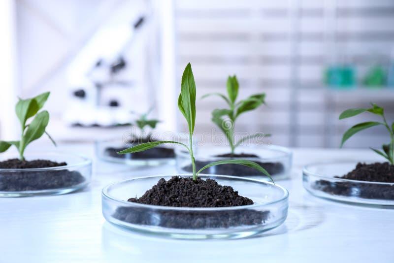 Зеленые растения с почвой в чашках Петри на таблице в лаборатории biofeedback стоковая фотография rf
