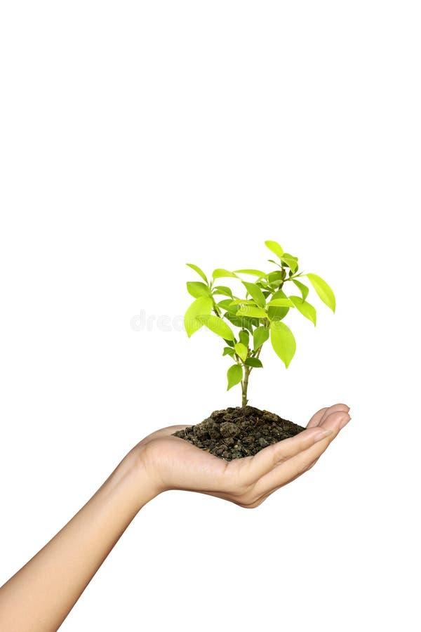 зеленые растущие сеянцы стоковое изображение rf