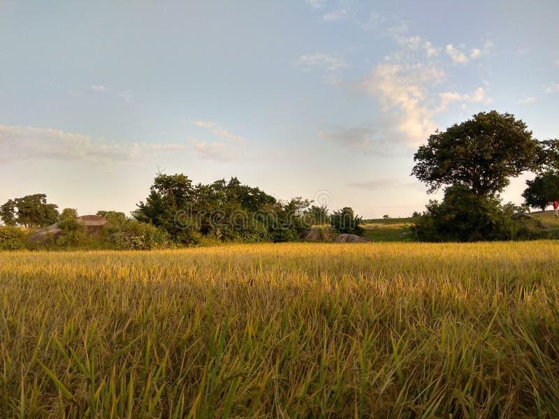 Зеленые рисовые поля с лучами солнца стоковые фотографии rf