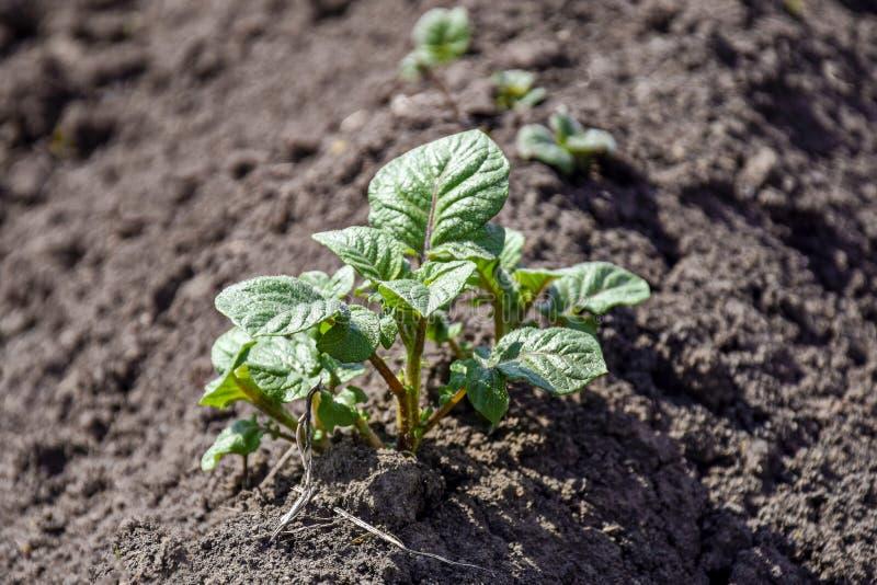 Зеленые ростки молодых картошек в предыдущей весне на огороде стоковые фотографии rf