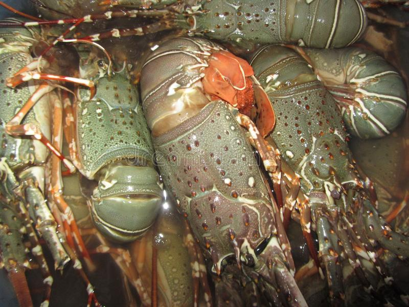 Зеленые свежие омары от курорта океана стоковые изображения