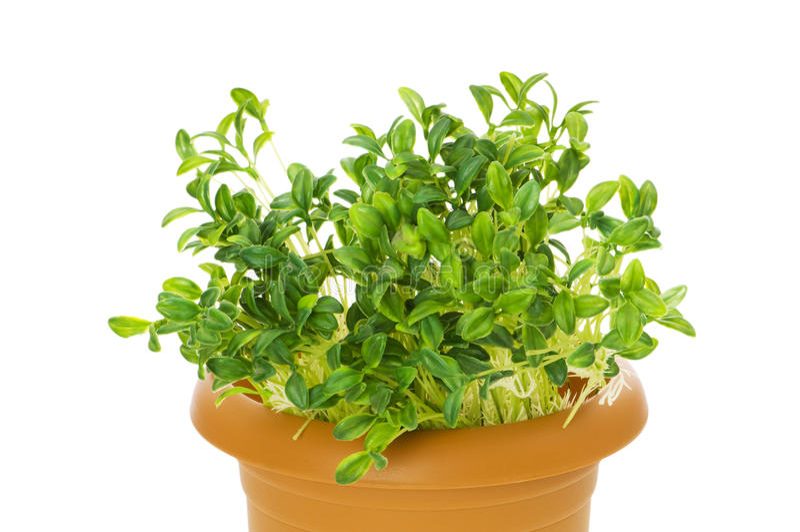 Зеленые сеянцы стоковая фотография