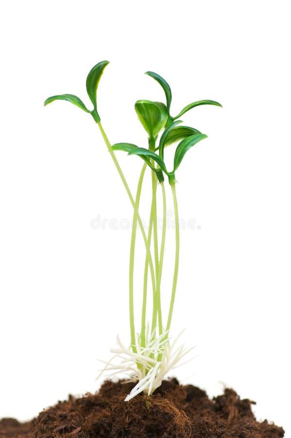 зеленые сеянцы стоковые фотографии rf