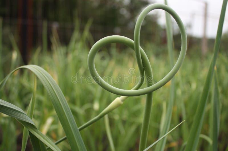 Зеленые стрелки чеснока в саде стоковая фотография