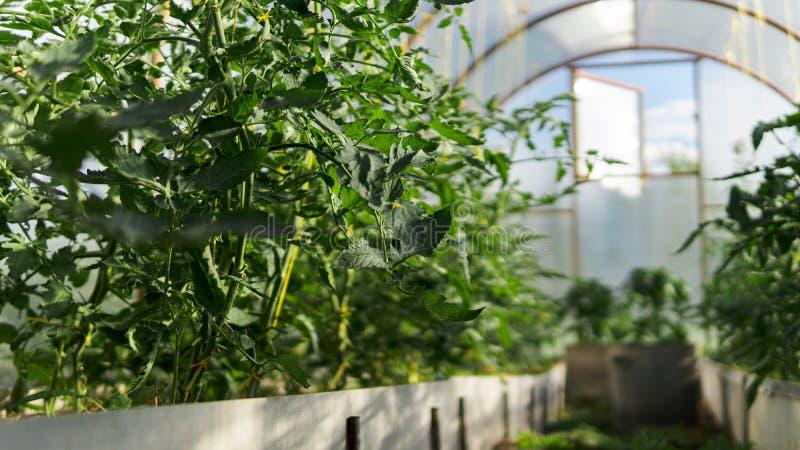 Зеленые томаты и перцы в парнике без людей стоковое изображение rf