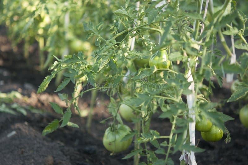 Зеленые томаты на ветви r стоковое фото rf