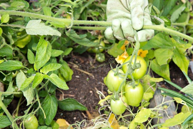 Зеленые томаты на лозе стоковая фотография rf