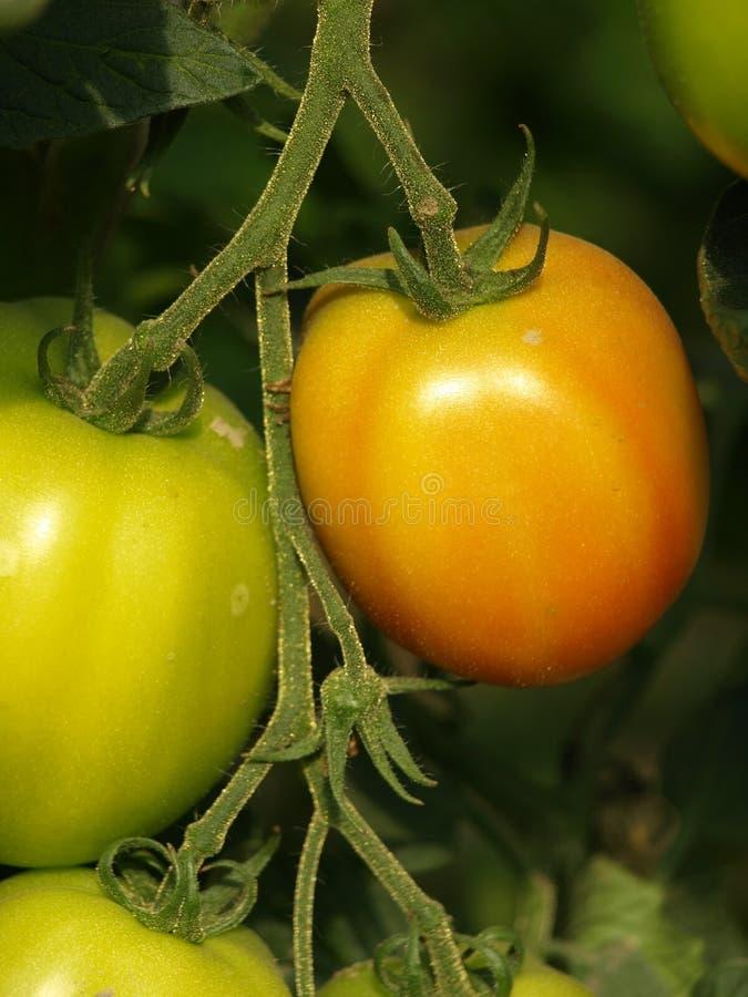 Зеленые томаты стоковые фотографии rf