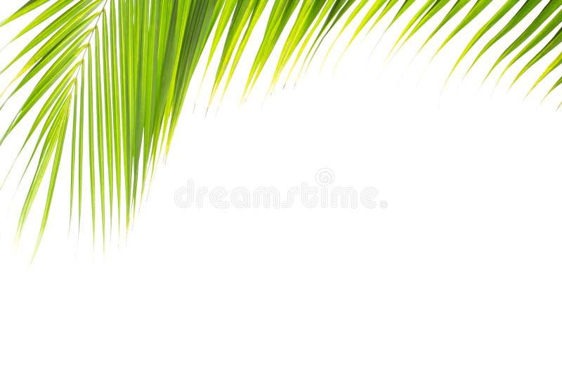 Зеленые тропические лист кокоса изолированные на белой предпосылке стоковые фотографии rf