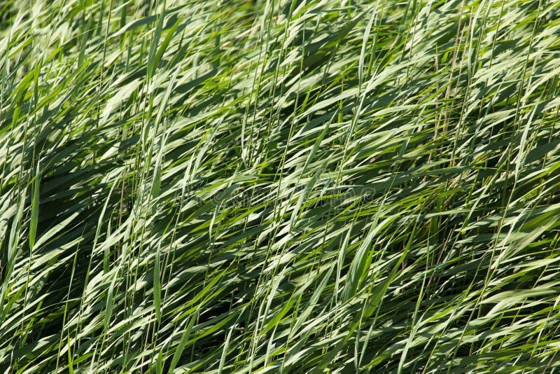 Зеленые тростники в природе стоковое изображение