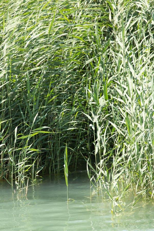 Зеленые тростники в природе стоковые изображения rf