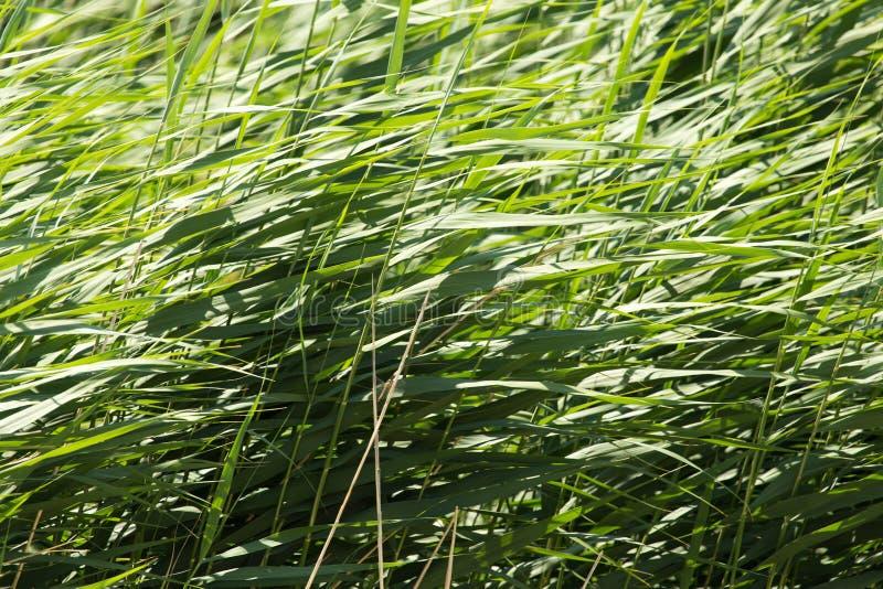 Зеленые тростники в природе стоковая фотография rf