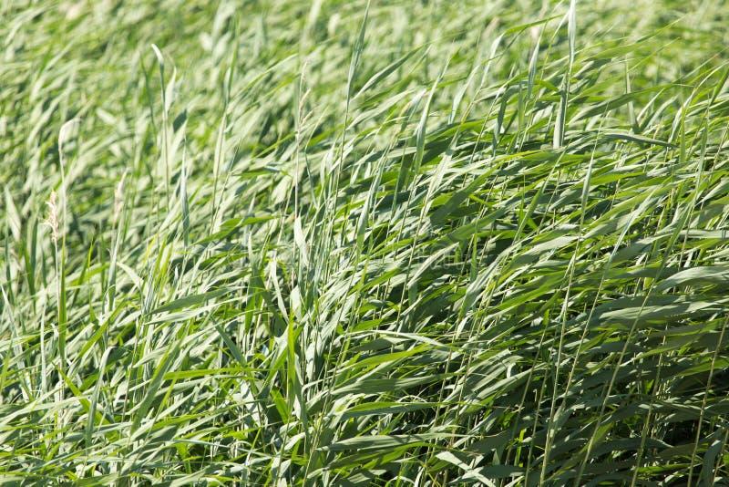 Зеленые тростники в природе стоковая фотография