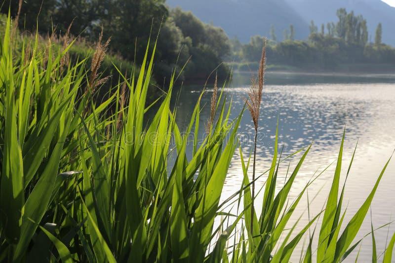 Зеленые тростники на озере в раннем утре стоковые фотографии rf
