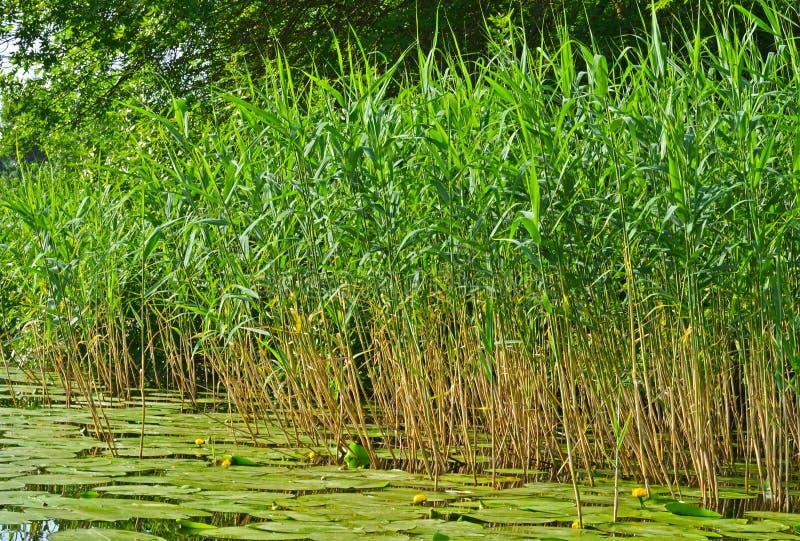 Зеленые тростники на реке стоковое изображение rf