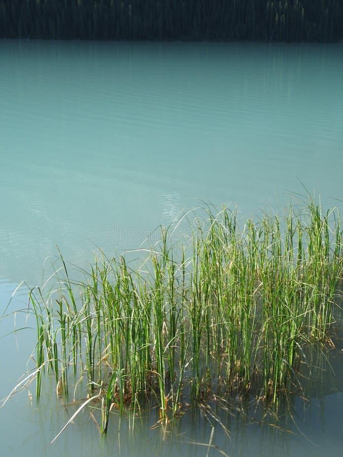 зеленые тростники стоковое фото