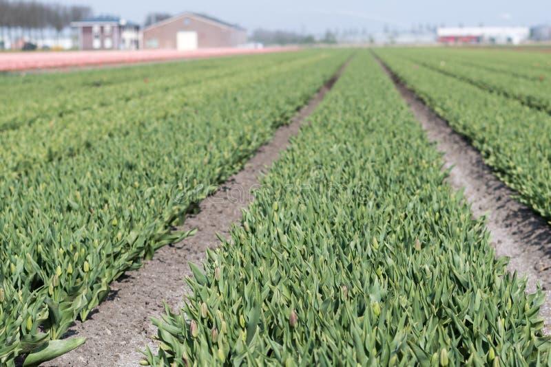 Зеленые тюльпаны в длинных строках стоковая фотография rf