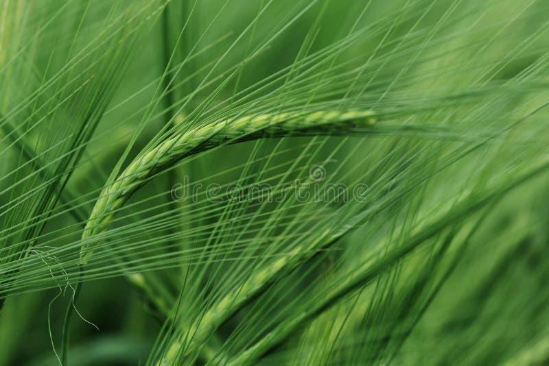 Зеленые уши ячменя стоковое фото rf
