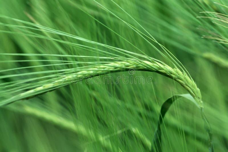 Зеленые уши ячменя стоковая фотография