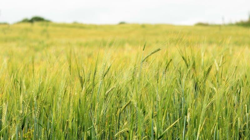 Зеленые уши ячменя в поле, селективного фокуса на переднем плане, предпосылка конца-вверх абстрактная стоковое изображение rf