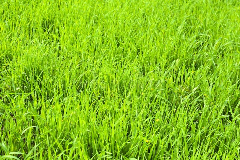 Зеленые черенок общих овсов ( Avena sativa ) на поле r Зеленая предпосылка травы стоковое изображение rf