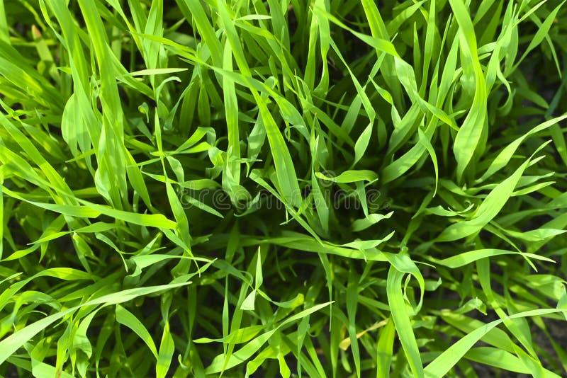 Зеленые черенок общих овсов ( Avena sativa ) на поле r Зеленая предпосылка травы стоковые фотографии rf
