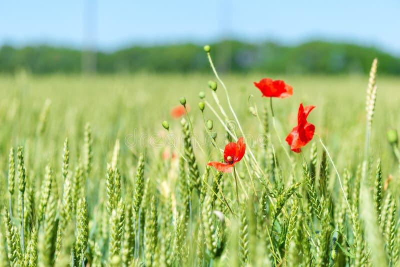 Зеленые шипы в поле и красивых красных цветках мака стоковая фотография rf
