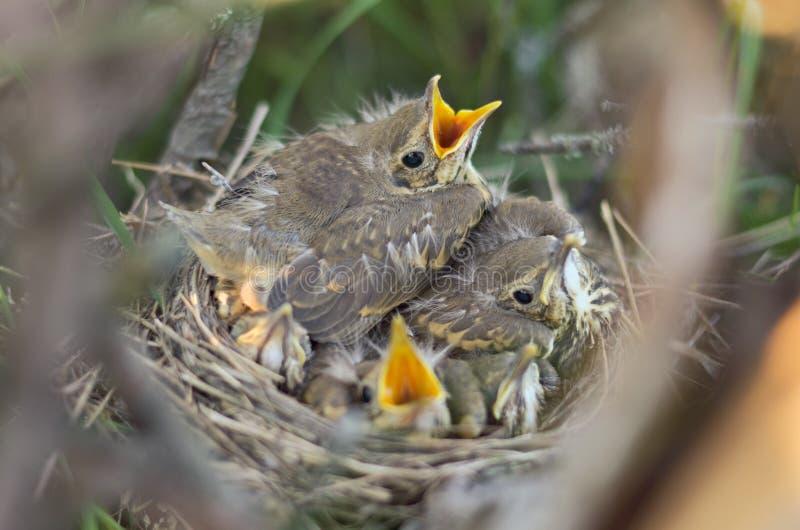 Зеленые юнцы молочницы песни в своем гнезде стоковые изображения