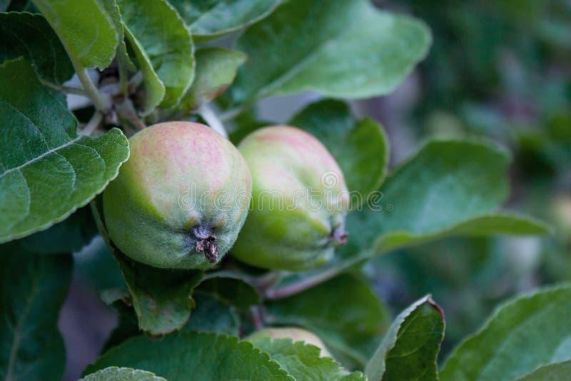 зеленые яблоки вися от ветви дерева в саде плодоовощ - органическая еда фермы, земледелие и концепция сбора стоковое фото