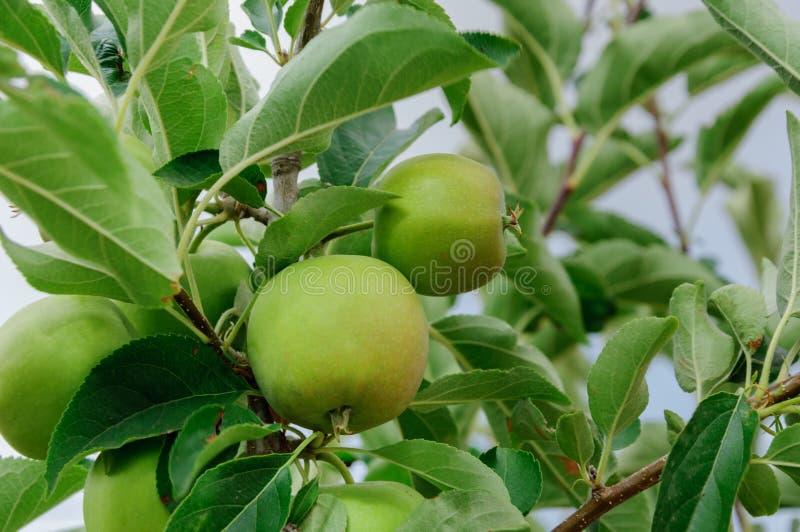 Зеленые яблоки в дереве стоковая фотография rf