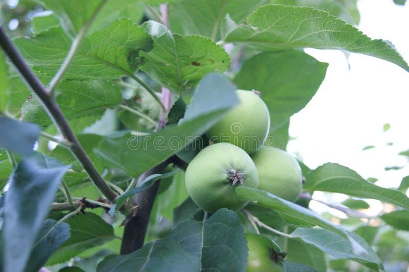 Зеленые яблоки на ветви стоковые фото