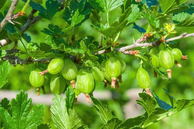 Зеленые ягоды садовничают крыжовники кустарника на ветвях с листьями, стоковые изображения rf