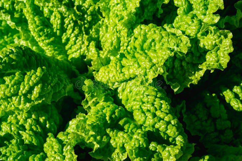 Зеленые vegetable листья, здоровая еда, вегетарианская еда Закройте вверх зеленого завода курчавой листовой капусты в огороде стоковое изображение rf