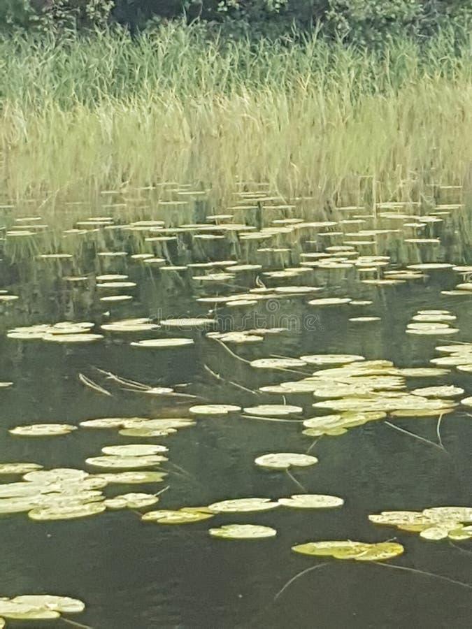 Зеленые waterlilys на озере стоковые изображения
