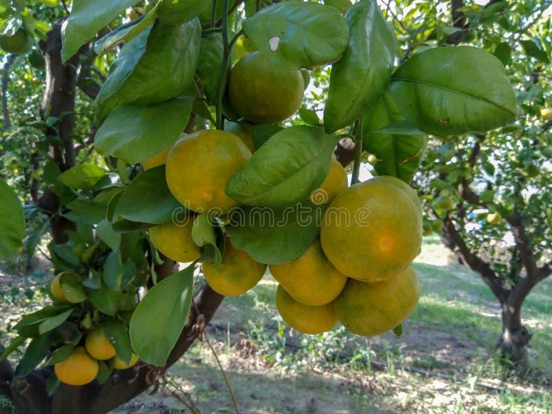 Зеленый апельсин мандарина стоковая фотография