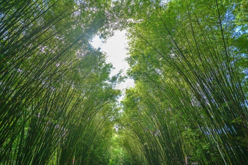 Зеленый бамбуковый тоннель стоковые фото