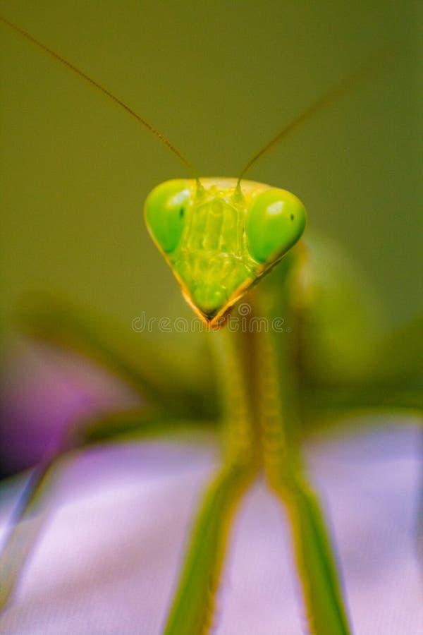 Зеленый богомол смотря камеру стоковая фотография rf