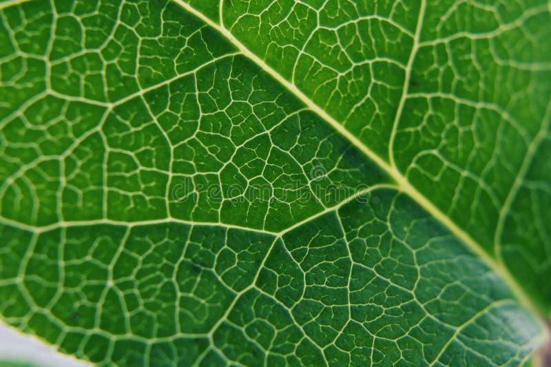 Зеленый большой свежий лепесток, конец-вверх съемки просвечивающий стоковые изображения rf