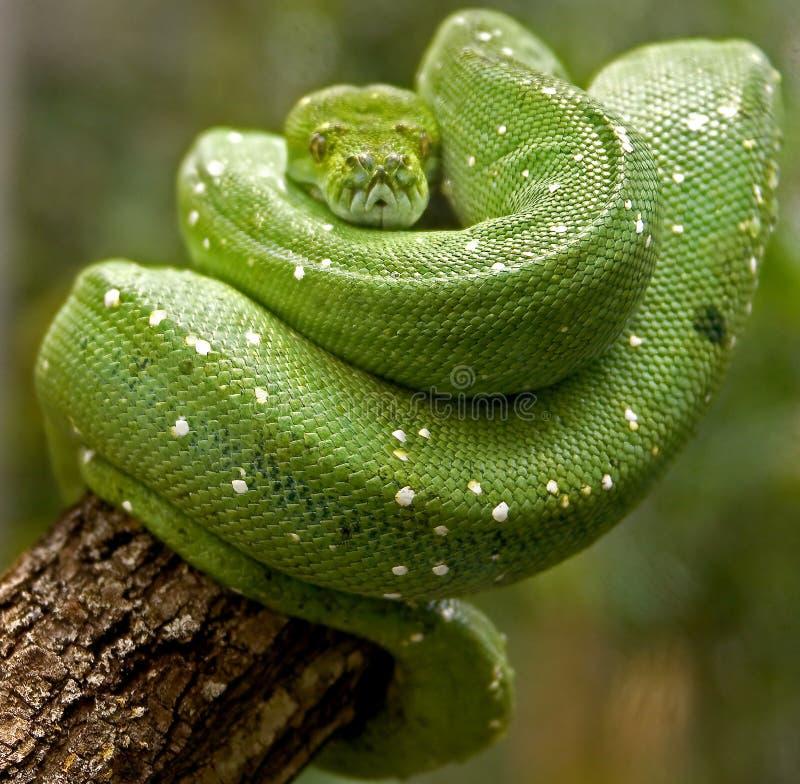 зеленый вал питона 3 стоковое изображение rf