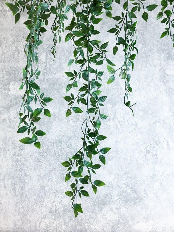 Зеленый взбираясь завод на стене цемента серой Модель-макет стены, концепция минимализма стоковая фотография rf