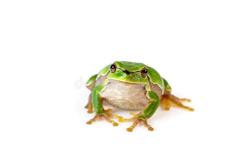 Зеленый вид спереди древесной лягушки сидя на белизне стоковое фото rf