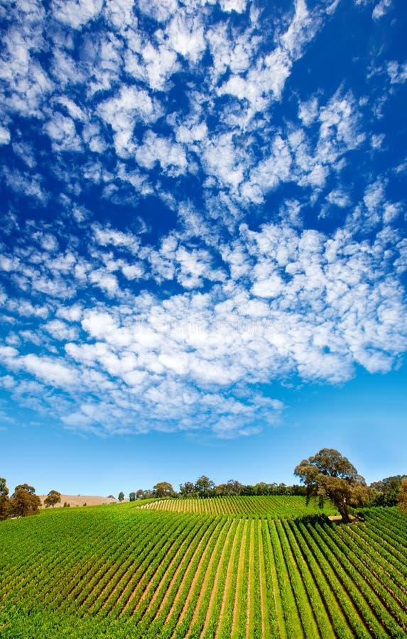 зеленый виноградник яркий стоковая фотография