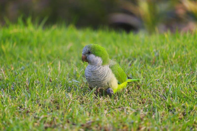 Зеленый длиннохвостый попугай монаха попугая, monachus Myiopsitta на зеленой траве стоковые изображения