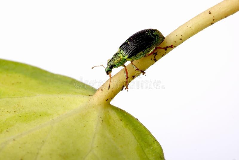 зеленый долгоносик pomaceus phyllobius крапивы стоковое фото